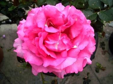 Rose1_1